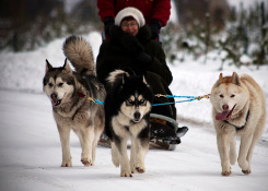 Dog sledding in Latvian countryside